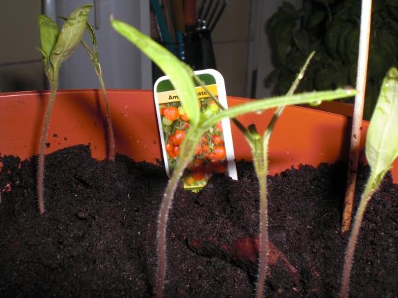 Tomaten-Pflänzchen nach etwa 10 Tagen