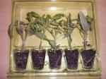 Tasty Tumbler Tomatenpflanzen von Easyplant kurz nach der Anlieferung