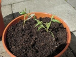 "Tomatenpflanzen ""Tasty Tumbler"" im Balkontopf"