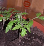 Tasty Tumbler Tomatenpflanzen von Easyplant - etwa zwei Wochen nach dem Versand
