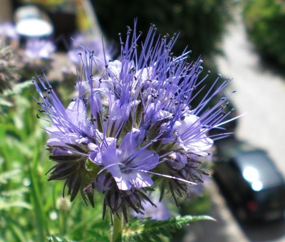 Eine aufgeblühte Dolde am Bienenfreund/Phacelia