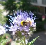 Eine Hummel genießt die Sonne und die Bienenfreund-Blüten.