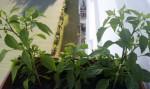 Drei Chilipflanzen im Balkonkasten