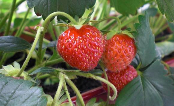 Diese Erdbeeren können noch einen oder zwei Tage reifen.