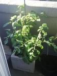 Nordbalkon-Tomaten im Betonkübel