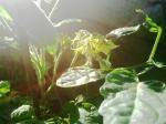 Thorbens Nordbalkon-Tomaten