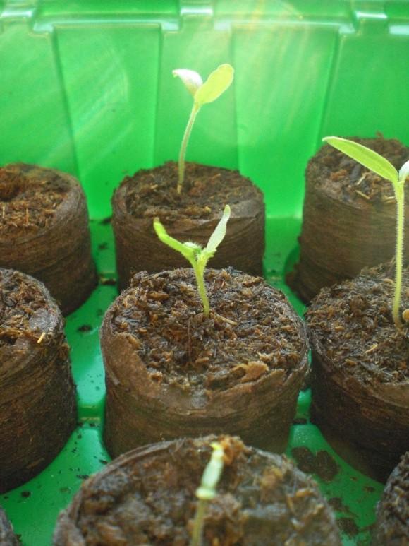 Anzucht von Tomaten für den Anbau im Balkonkasten