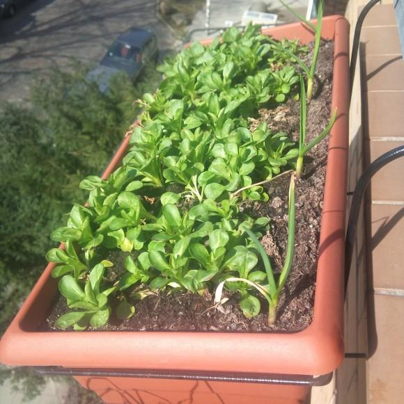 Feldsalat in Mischkultur mit Knoblauch im Balkonkasten
