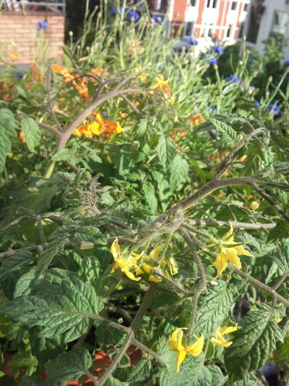 Die Tomaten blühen. Dahinter locken Acker-Schöterich, Kornblumen und Phacelia die Hummeln an.
