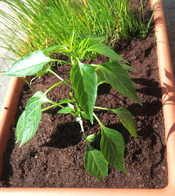 Chilipflanze im Balkonkasten