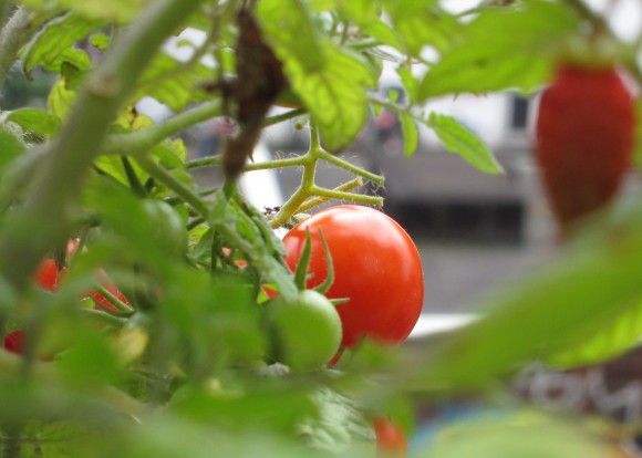 """Eine reife Tomate der Sorte """"Tumbling Tom"""" umgeben von Tomatenlaub. Im Vordergrund unscharf eine Monatserdbeere."""