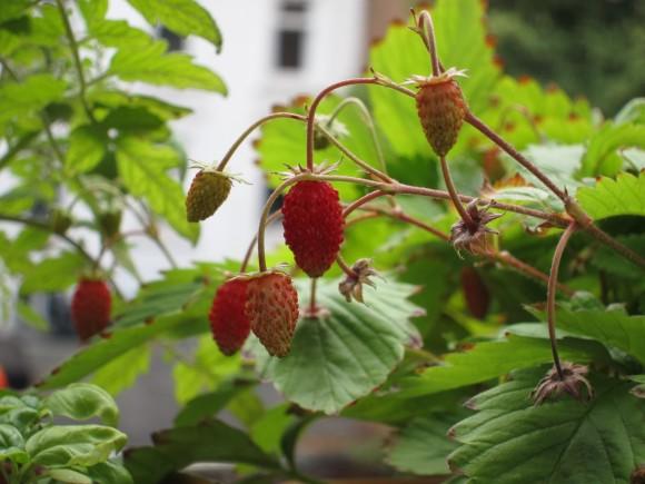 """Monatserdbeere """"Rügen"""" mit fast reifen Früchten"""