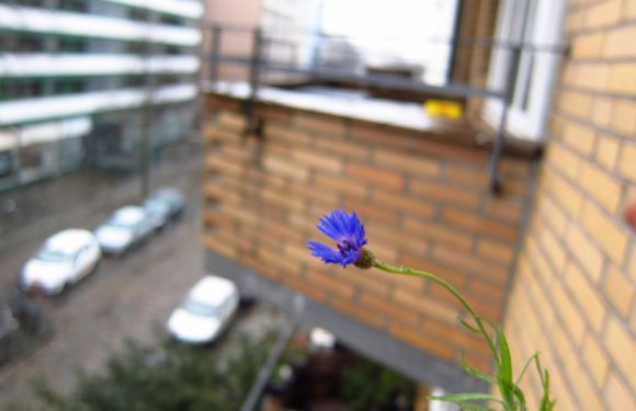 Eine Kornblume blüht im Januar 2012 im Balkonkasten