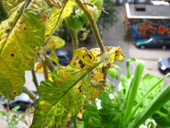Tomatenpflanze mit Braunfäule (Detail)