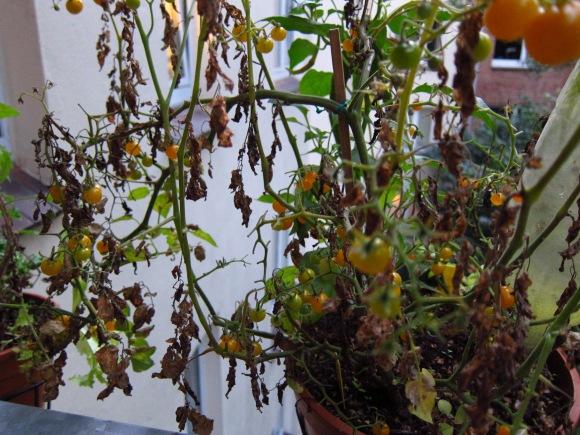 Tomatenpflanze mit Braunfäule