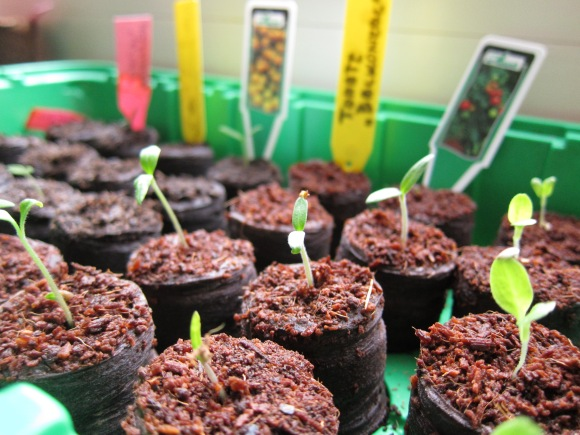 Tomaten-Sprösslinge verschiedener Arten im Anzucht-Gewächshaus