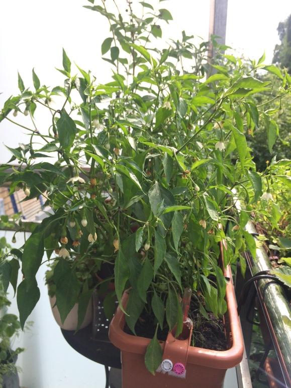 Chilis im Balkonkasten mit Wasserspeicher